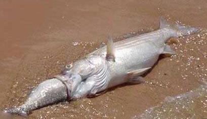 fish choke