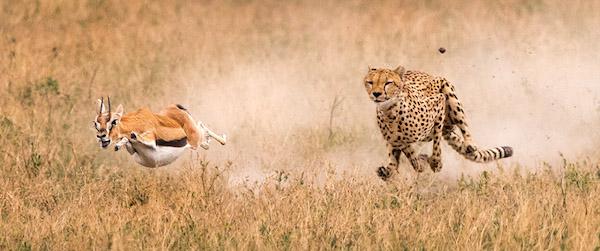 cheetah-gazelle